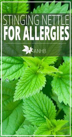 Sting Nettle for Allergies - AllNaturalHomeandBeauty