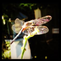 Dragonflies are my favorite bug (tho I also like Fireflies).
