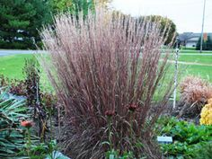 Little Bluestem Blue Heaven is a drought proof ornamental grass and sun perennial for hard to grow areas