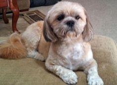 Lulu the Shih Tzu Mix .Shih Tzu / Tibetan Terrier