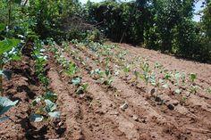 vista geral da plantação das hortaliças, tem couve galega, brócolos, penca e coração