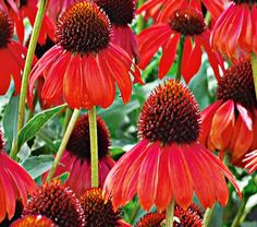 "Firebird Echinacea is an attention getter with it's ""birdie"" shape. Beautiful Flowers, Plants, Planting Flowers, Flowers, White Flower Farm, Bloom, Plant Tags, Flower Garden, Echinacea"