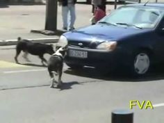 Man threatens to run over dogs and honks horn, but WATCH… He gets EXACTLY what he deserves!! - Hi Homer! - HiHomer.com