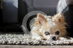 White and brown sitting chihuahua
