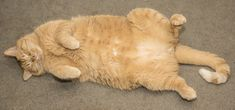 Chubby cats are adorable, but obesity in cats can be very detrimental for their health. To help you stay informed and provide your cat with the very best care possible, here is your guide through feline obesity Fat Orange Cat, Moby Max, Aztec Culture, Wedding Tattoos, Cat Sleeping, Cat Names, Cute Cats, Animals, Pet Dogs