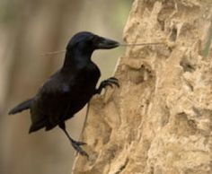 Cameras capture never-before-seen footage of wild crows building tools - New Caledonian crows fashion sophisticated hooked stick tools, as described in a new study. Blackbird Singing, Quoth The Raven, Crow Bird, Jackdaw, Crows Ravens, Black Feathers, Birds Eye View, Science And Nature, Science Daily