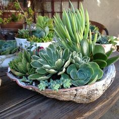 Succulents planted in a abalone shell by Jill Plumb.