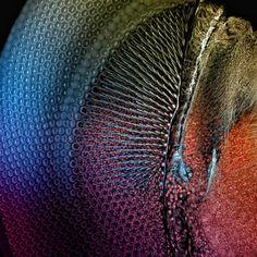 Estrutura hexagonal do inseto donzelinha, parente da libélula. Prêmio Olympus BioScapes - menção honrosa.