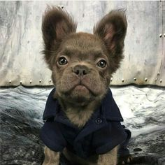 449 Best French Bulldog Images In 2020