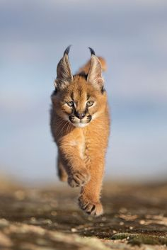 Delightful 6 week-old caracal cub in a hurry. The caracal (Caracal caracal) is a… Delightful 6 week-old caracal cub in a hurry. The caracal (Caracal caracal) is a medium-sized wild cat native to Africa, the Middle East, Central Asia, and India. Baby Caracal, Caracal Kittens, Cats And Kittens, Serval, Cats Meowing, Cats Bus, Sphynx Cat, Ragdoll Cats, Rare Cats