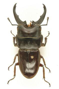 Ditomoderus lacroixi male Pahang/Malaya