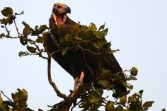 The Red-headed Vulture (Sarcogyps calvus), also known as the Asian King Vulture, Indian Black Vulture or Pondicherry Vulture. The species is mainly found in the Indian Subcontinent.  This gaudy-faced vulture was historically abundant, range widely across the Indian Subcontinent. Today the range of the birf is localized primarily to northern India. It is usually in open country and in cultivated and semi-desert areas. It is also found in deciduous forests and foothills and river valleys.