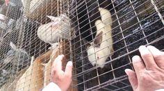 reproduccion de conejos