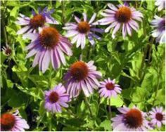 Třapatka spp. (Echinacea) Garden, Plants, Garten, Lawn And Garden, Gardens, Plant, Gardening, Outdoor, Yard