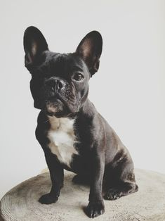 One of my favorite types of dogs... French Bulldog! I want one and her name will be Beauty or Belle. And then I want an English bulldog named Beast