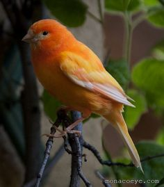 birds parrot and american singer canaries Finches and canaries  although all male canaries can sing, the birds in this group were bred to be the best songsters, including the american singer breed.