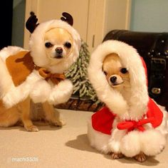 Getting ready to deliver Santa's Toys. Cute Chihuahua, Teacup Chihuahua, Chihuahua Puppies, Cute Puppies, Chihuahua Clothes, Christmas Animals, Christmas Cats, Pet Dogs, Baby Dogs