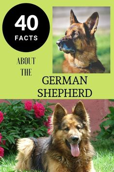 40 Facts about German Shepherds #GermanShepherdDogBreed #BreedOfDogs