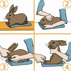 Rabbit Grooming: Brushing, Nail Clipping, and Ear Cleaning Mini Lop Bunnies, Holland Lop Bunnies, Pet Bunny Rabbits, Dwarf Bunnies, Pet Rabbit, Bunny Bunny, Poodles, Bunny Care Tips, Diy Bunny Toys