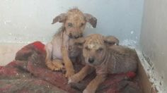 The blind puppies from Alexandra in ESMA. Pictures speak more than words as we really have nothing to say despite our very bad financial situation we could not say NO to such a case. They have horrible skin condition, dehydrated, blind and stomach infection and that is all we find out till now. https://www.facebook.com/esma.egypt/posts/759891844042135
