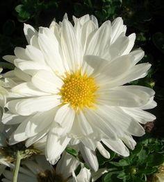 Chrysanthemum 'White Tower'