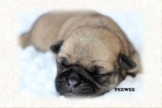 """Fairytailpuppies """"where pets are family too - PEEWEE"""