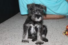 busby the schnauzer as a puppy