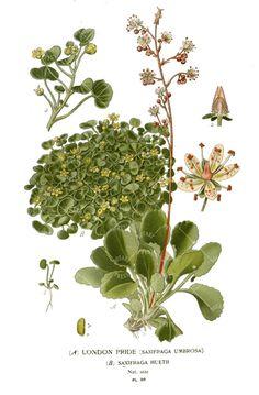 Saxifraga Umbrosa Ladies T-Shirt Botanical by BotanyPress on Etsy