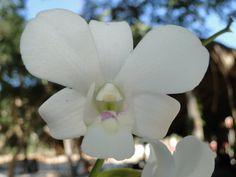 A Orquídea não é uma flor do Cerrado, mas adapta bem, enfeitando nossos jardins.