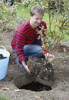 So wird die Heidelbeere richtig eingepflanzt