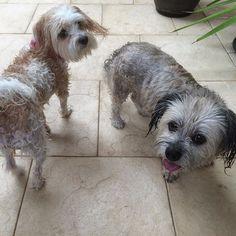 Wash down after the beach today Lily & Nellie  #MaltipooLove #maltipoosofinstagram #maltipoo #dogsofinstagram #instagramdogs #dogs #maltese #dogsofig #dog #petsofinstagram#doglovers #picoftheday #pets #maltesecavalier#malteseofinstagram#malteseofficial #dogoftheday#barkhappy#lacyandpaws#weeklyfluff#odefix#furfriend#ilovemaltese#buzzfeed#buzzfeedanimals#mydogiscutest #mydog#instapic #instagramdogs#love#loves_animals by fentiger379