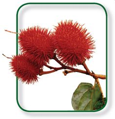Achiote | Herbs for skin care