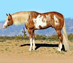 APHA Paint stallion, The Gift Of Midas. Hunter under saddle, English style training.