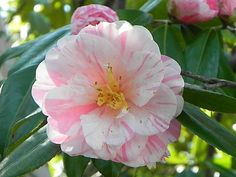 Camellia japonica 'Haru-hikage' (Japan, by 1982)