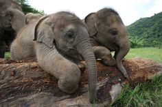 two baby eles trying to get over a log and of course being watched carefully