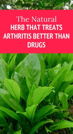 The natural Herb that treats Arthritis better than Drugs