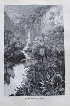 1898 BAUMFARNE AUF CEYLON alter Druck antique Print Lithographie Farne Bäume