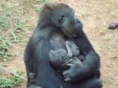 Filhote de gorila na FZB-BH - Foto Suziane Fonseca 05.08.2014  (25)