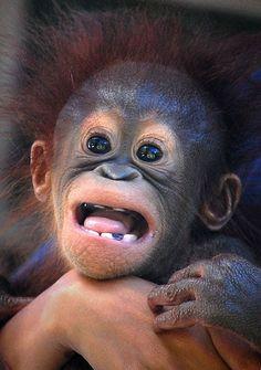 sweet baby orangutan