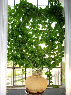 Pyrenacantha malvifolia, the caudex is 50 cm. Unusual Plants, Rare Plants, Exotic Plants, Cool Plants, Cacti And Succulents, Planting Succulents, Planting Flowers, Cactus, Strange Flowers