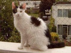 LaPerm Cat Black & white