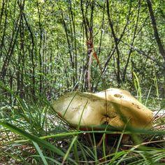 #mushrooms #mushroom #boletus #naturalbeauty #naturephotography #nature #nature_perfection #naturelovers #newallbest #avontuurco #natureshot #natureinspired #instanature #naturepics365 #naturepics #naturepic