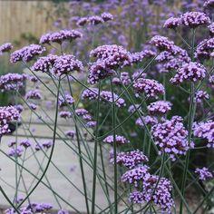 Buy verbena Verbena bonariensis: Delivery by Waitrose Garden in association with Crocus