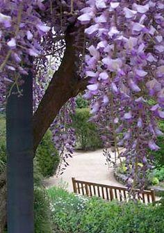 Weeping wisteria    wisteria brachybotrys