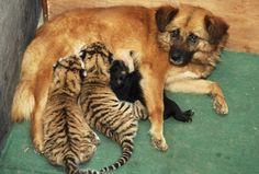 Chissà se da grandi questi cuccioli di tigre siberiana (Panthera tigris altaica) saranno riconoscenti alla cagnetta di uno zoo di Hefei, in Cina, che li ha adottati. Se non fosse stato per lei, che incurante della differenza di specie li ha allattati come fossero figli suoi, i due tigrotti sarebbero morti di fame.  ------------ Le più belle foto di cuccioli - Focus.it