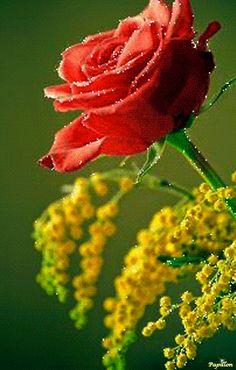 Rose rouge et Mimosas