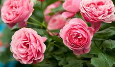 We have many types of roses. Rose bushes make a great statement in your garden. Roses are one of the most popular flowering plants in the world. Rose Care, Damask Rose, Types Of Roses, Rose Trees, Bloom, Orchid Care, Garden Care, Cool Plants, Rose Bush
