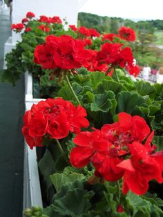 Easy To Grow Houseplants Clean the Air Bright Red Geraniums In A Flower Box Are Perfect On A Front Porch. Very Beautiful Flowers, Love Flowers, Easy To Grow Houseplants, Geranium Plant, Red Geraniums, Landscaping Tips, Flowers Nature, Flower Boxes, Summer Flowers