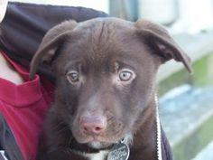 Lucky: Husky, Dog; Elkhart, IN