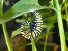 Monarch Larva Monitoring Project.  Help researchers at the University of Minnesota collect long-term data on larval monarch populations and milkweed habitat.